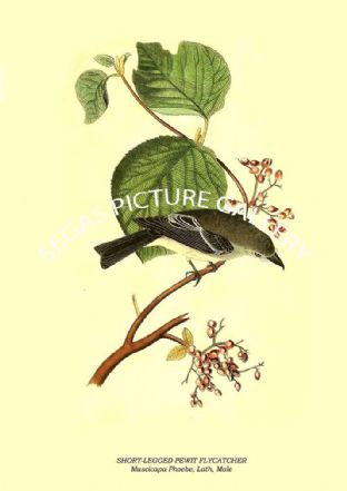 SHORT-LEGGED PEWIT FLYCATCHER - Muscicapa Phoebe, Lath, Male